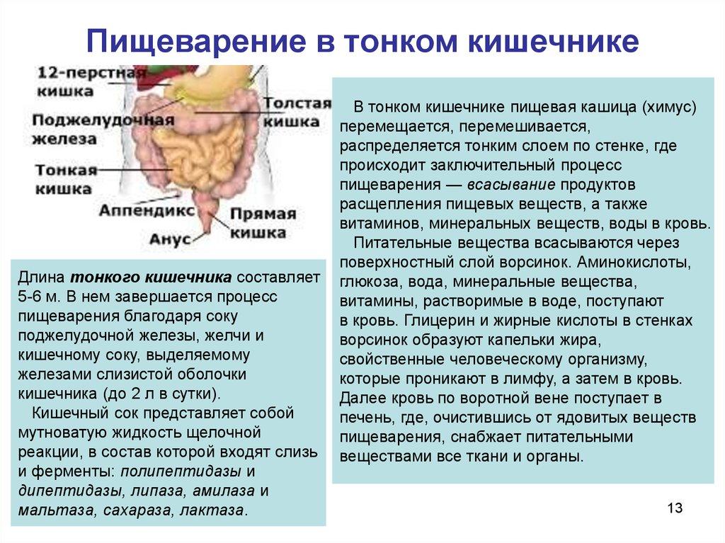 какие вещества всасываются в тоноком кишечном тракте конкретно в кровь