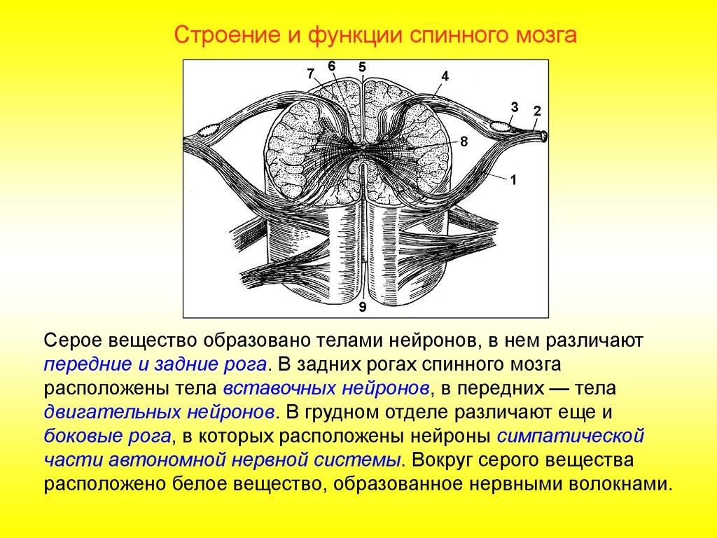 Что такое нейроны Двигательные нейроны: описание, строение и функции 23