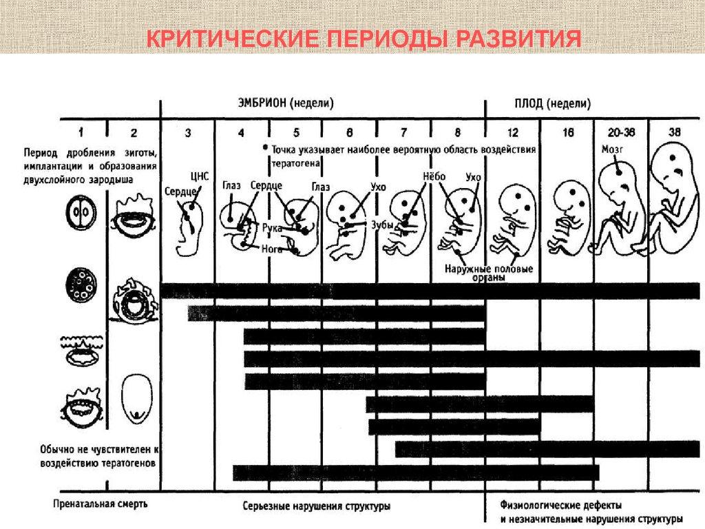 критические периоды внутриутробного развития