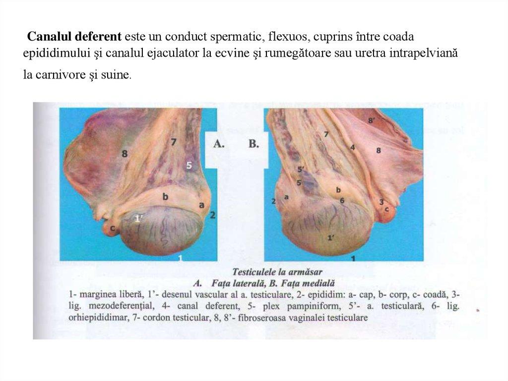 penis de mărimea testiculului