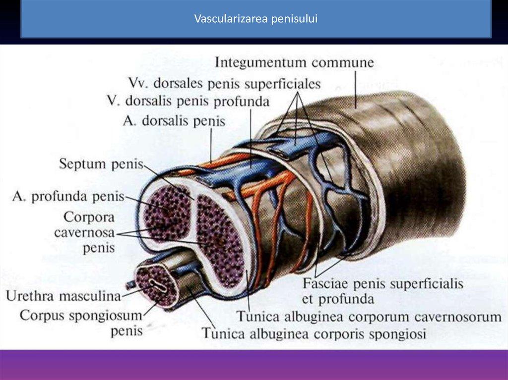 Cum se măsoară corect lungimea organului genital masculin