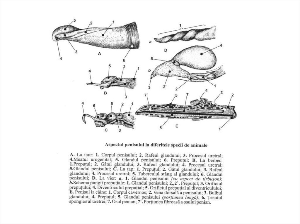 lungimea penisului taur)