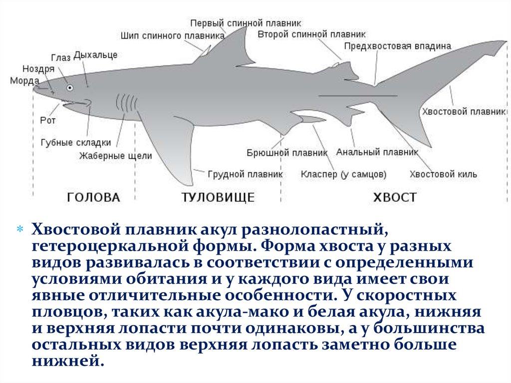 для акулы характерно