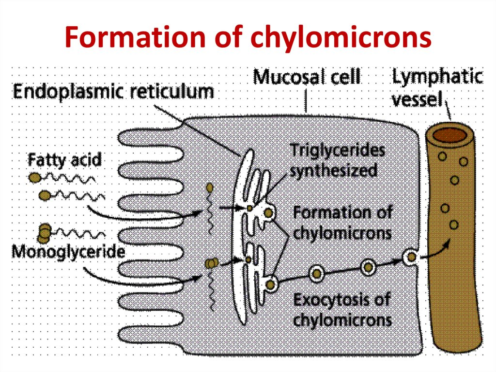 Formation of chylomicrons