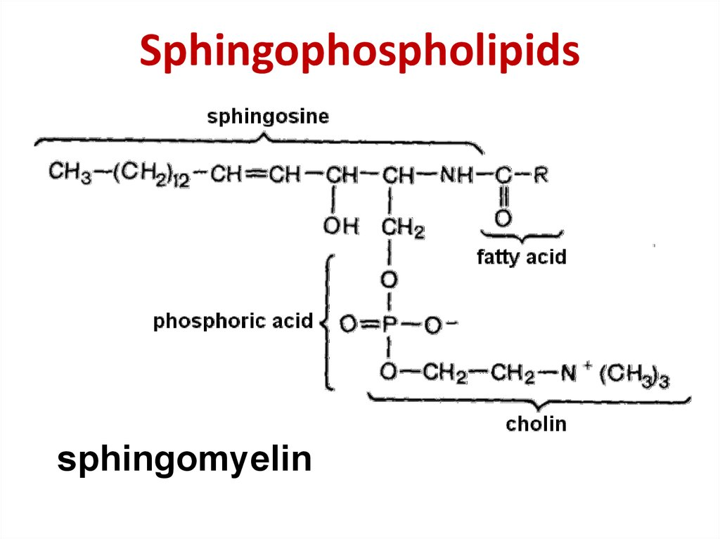 Sphingophospholipids