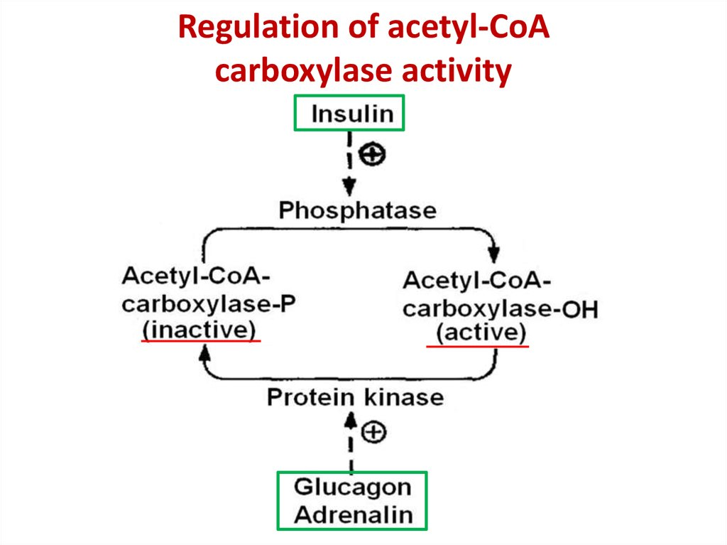 Regulation of acetyl-CoA carboxylase activity