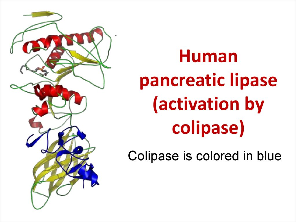 Human pancreatic lipase (activation by colipase)