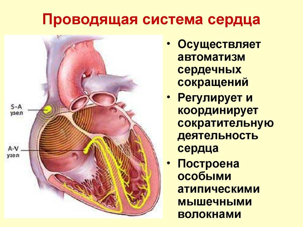 Презентация по анатомии проводящая система сердца — img 3