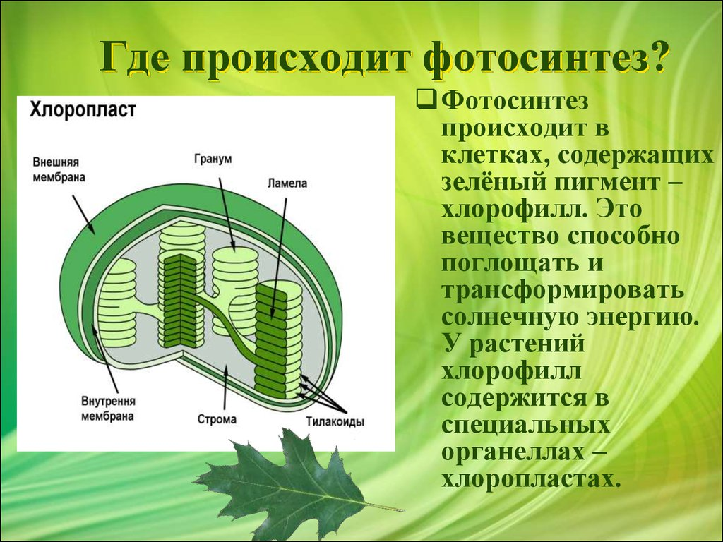 chlorophyll and photosynthesis All plants that photosynthesize contains chlorophyll a, while, chlorophyll b is a second kind of chlorophyll that occurs only in green algae plants accessory pigments absorb light energy and transfers energy to chlorophyll a during photosynthesis.