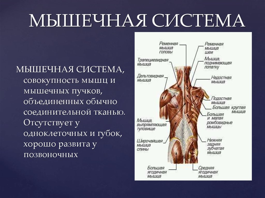 muscular system Muscular system definition at dictionarycom, a free online dictionary with pronunciation, synonyms and translation look it up now.