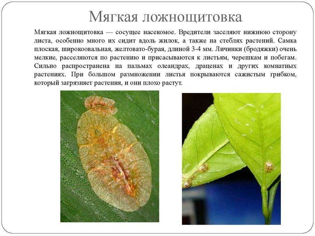 летающие вредители комнатных растений и меры борьбы с ними фото