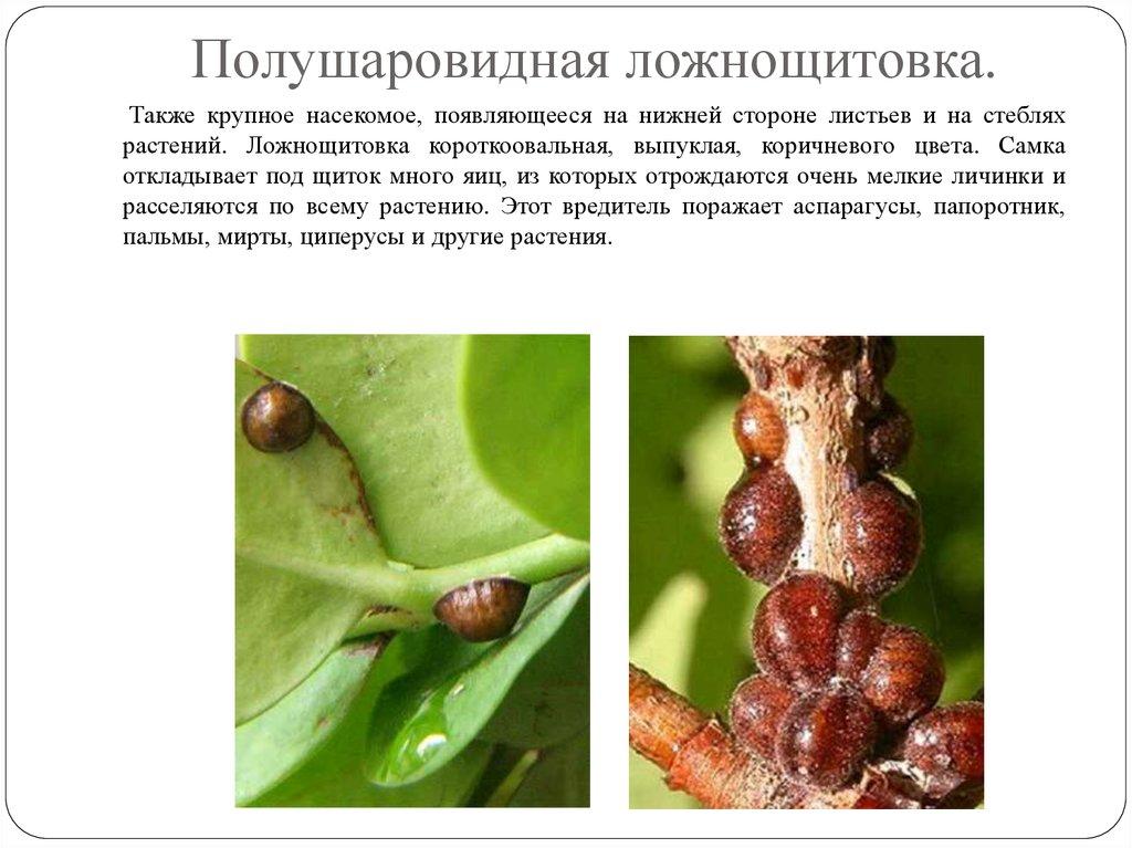 болезни комнатный растений мучнистая роса