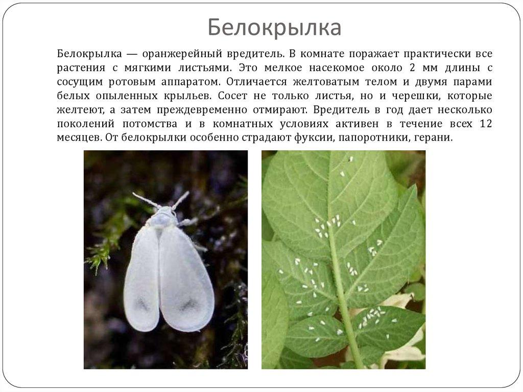 бутылочное дерево болезни комнатное растение