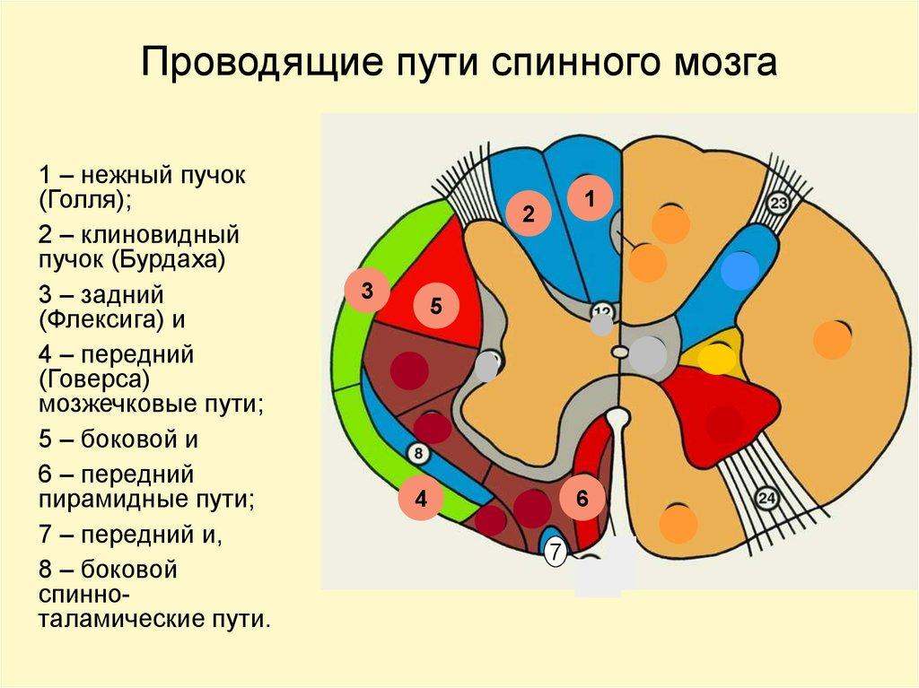 Реферат проводящие пути спинного мозга 4515