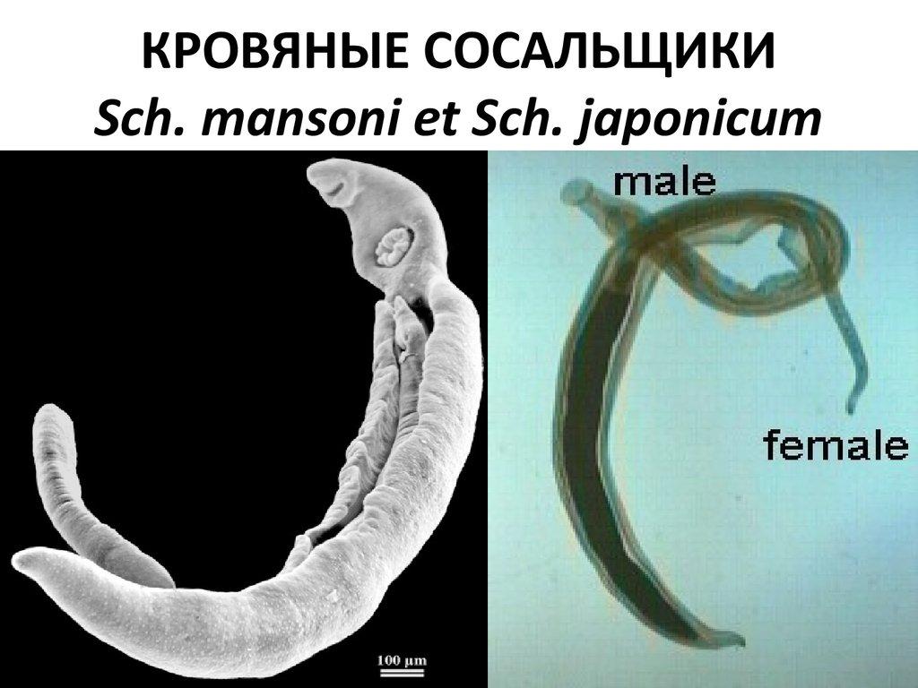 круглые паразиты сосальщики