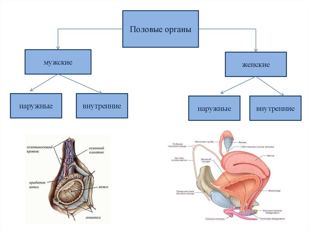 Женские половые органы внешние 58