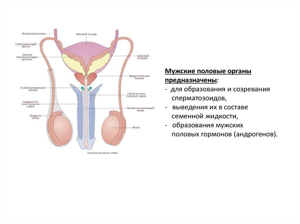 Как выглядят мужские и женские гениталии — 1