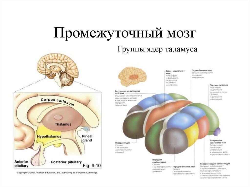 Таламус є структурою проміжного мозку і виконує, головним чином, сенсорні функції, в тамусі переключаються всі сенсорні шляхи, які йдуть в кгм,крім нюхового.