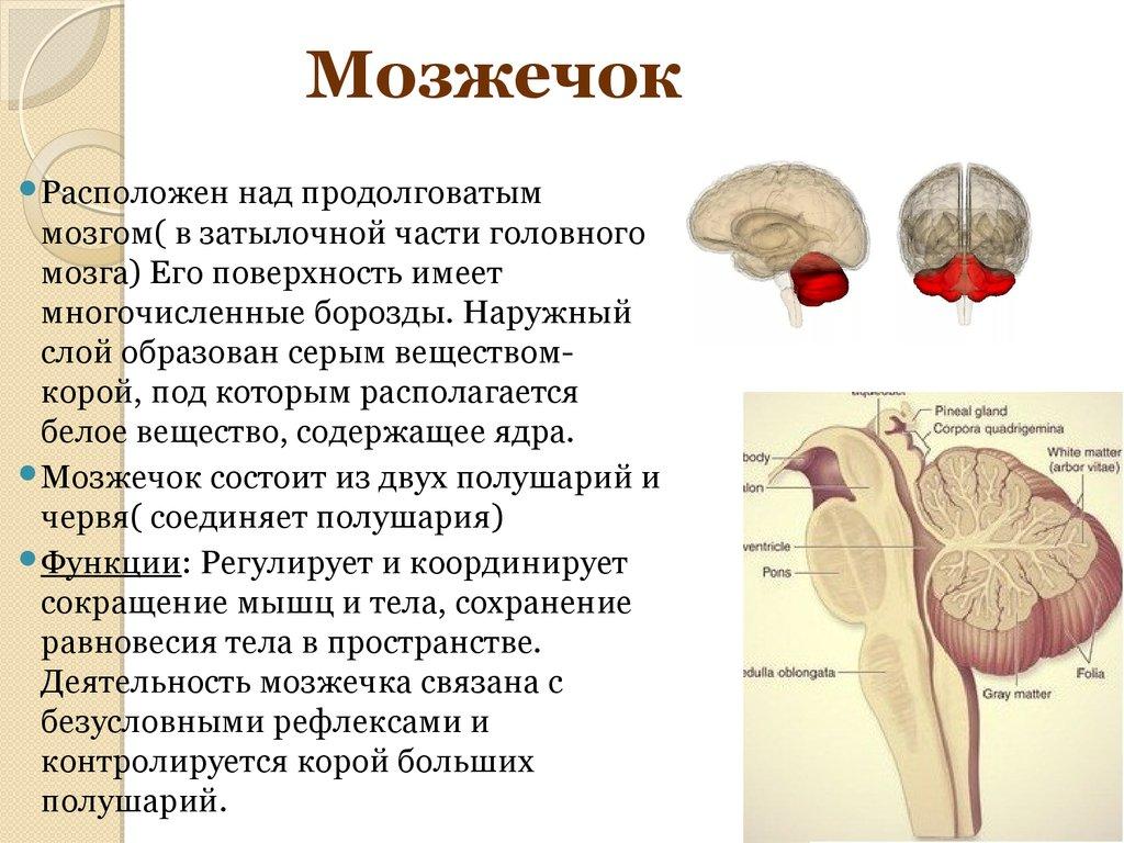 появлением картинка где находится мозжечок стриженного бобра это