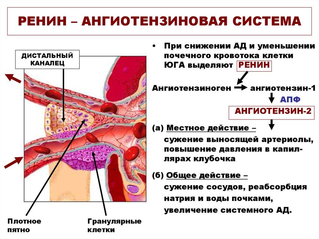 ренин-ангиотензиновая система