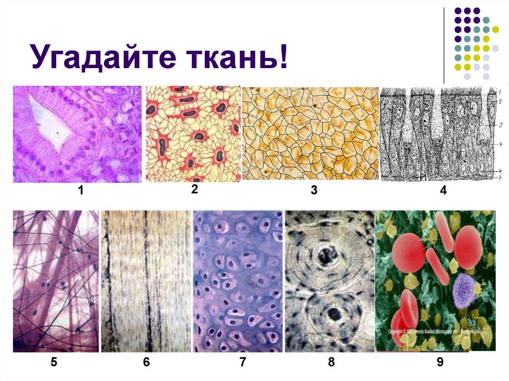 ткани растений и животных рисунок узнавал, так всё