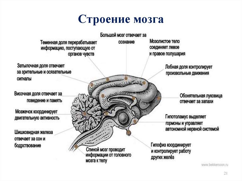 сути, строение мозга человека картинка порядке