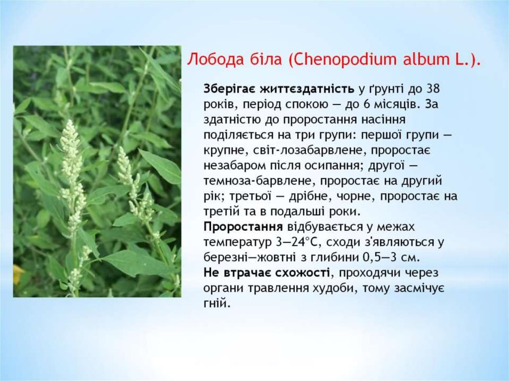 Лобода біла (Chenopodium album L.).