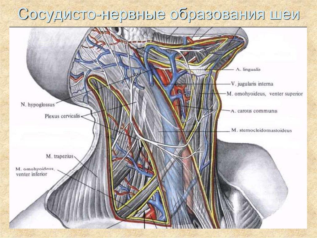 Шея топографическая анатомия картинки