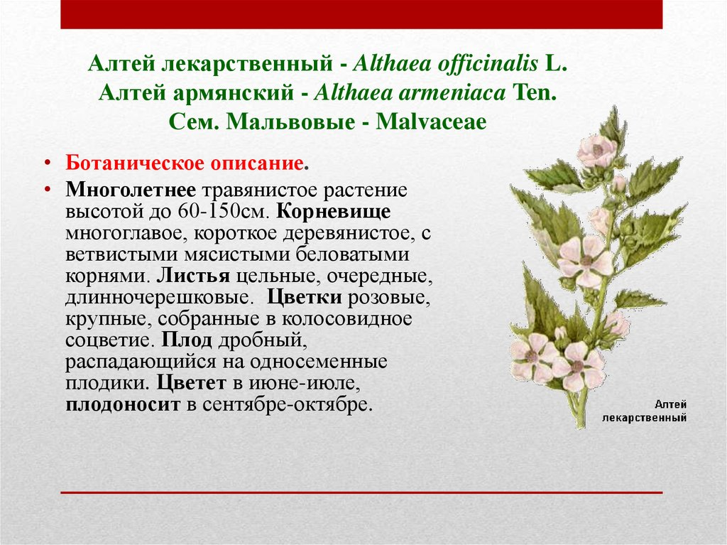 Алтей лекарственный - Althaea officinalis L. Алтей армянский - Althaea armeniaca Ten. Сем. Mальвовые - Malvaceae