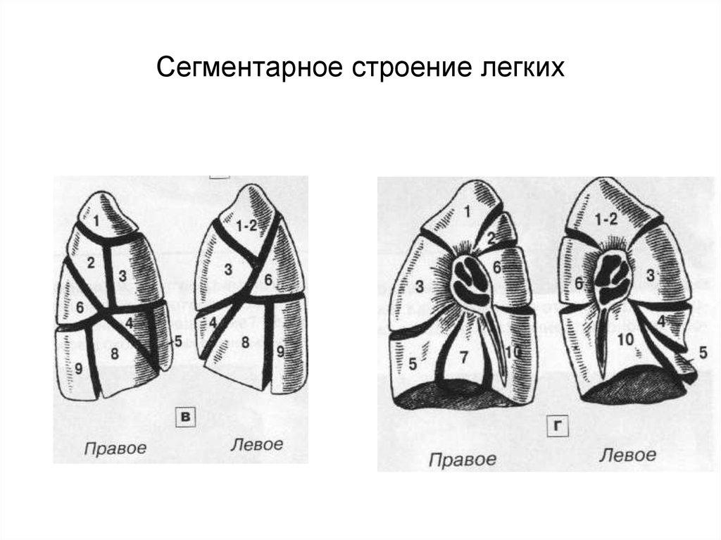 Картинки доли и сегментов легких