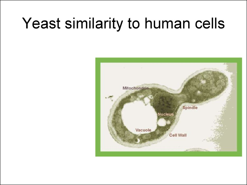 Yeast similarity to human cells