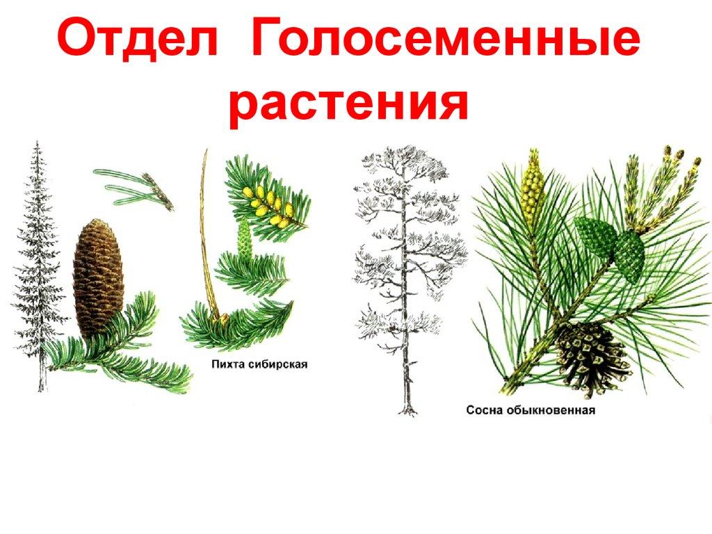 созревание семян у голосеменных
