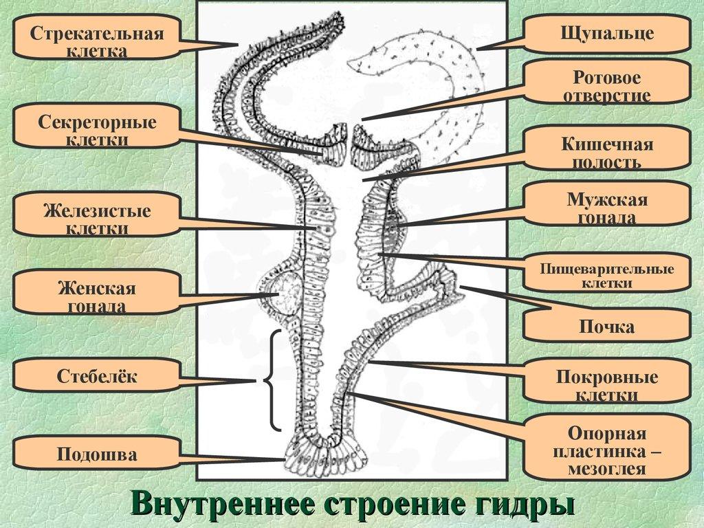 гидра многоклеточные животные