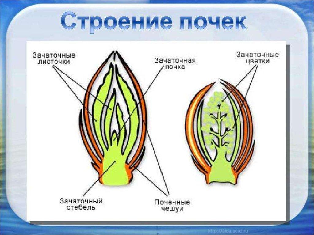 картинка строение почки растения начинал