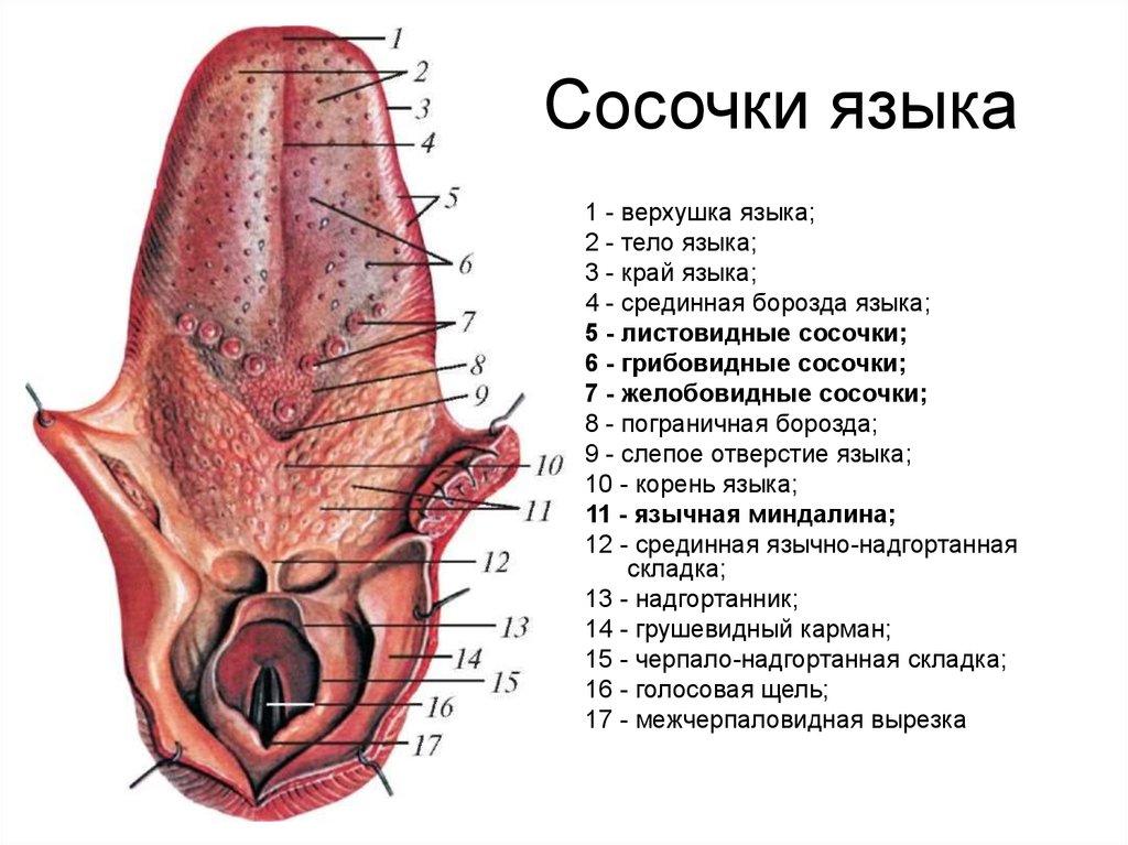 Грибовидные сосочки языка
