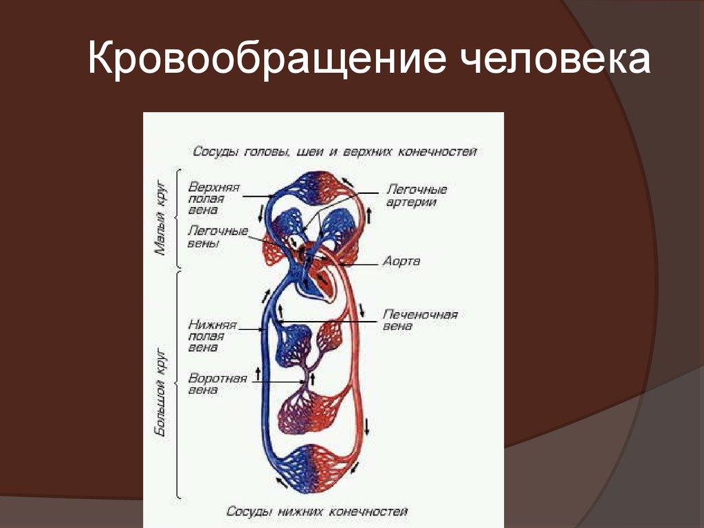Кровообращение человека схема картинки