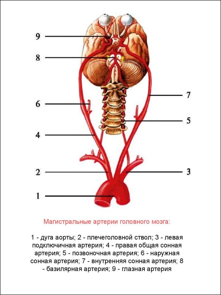 Кровоснабжение головного мозга схема фото 4