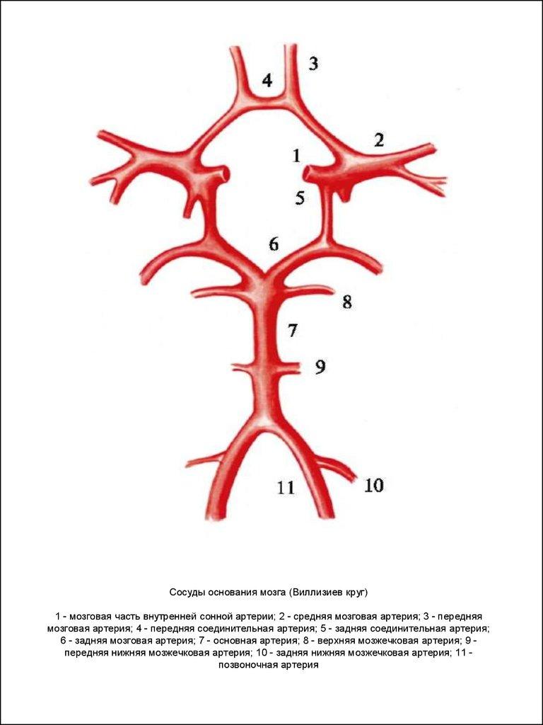 Кровоснабжение головного мозга схема фото 551