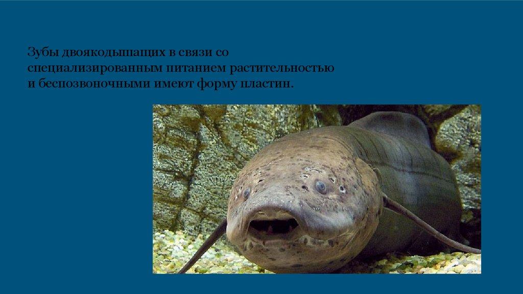 Двоякодышащие рыбы - презентация онлайн заглатывать
