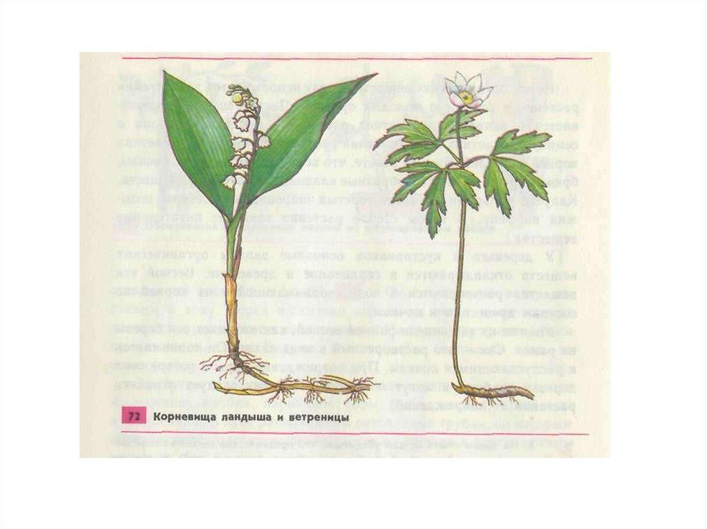 общее знакомство с цветковыми растениями