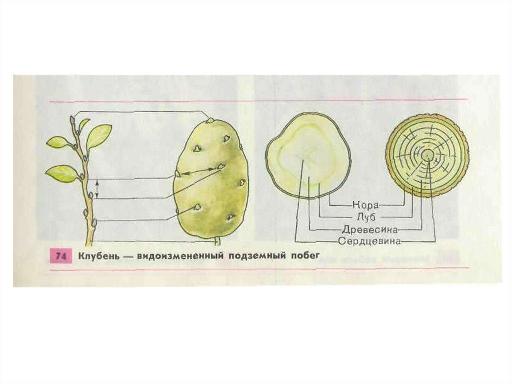 общее знакомство с цветковыми растениями клеточное строение растения
