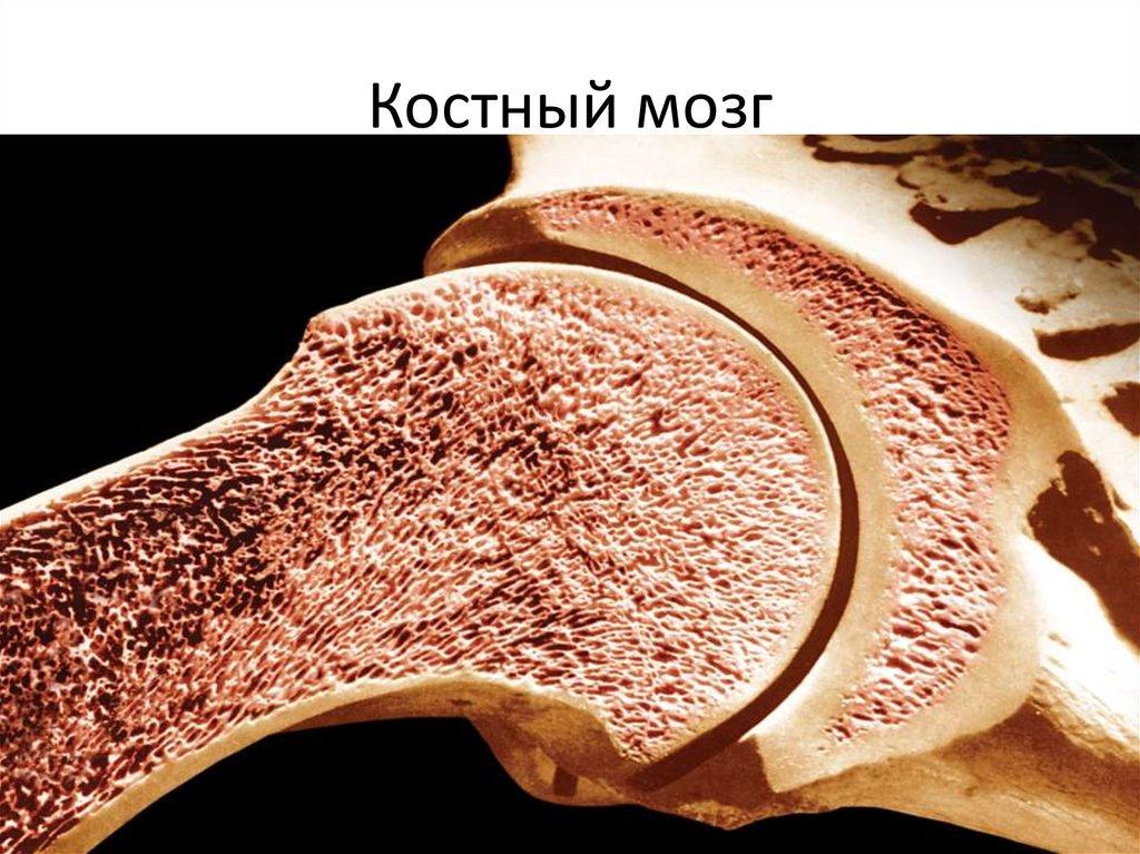 одной костный мозг расположение картинка обмениваться