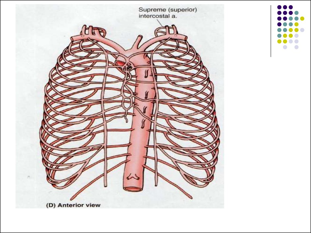 Linical Anatomy Of The Chest And Mammary Gland