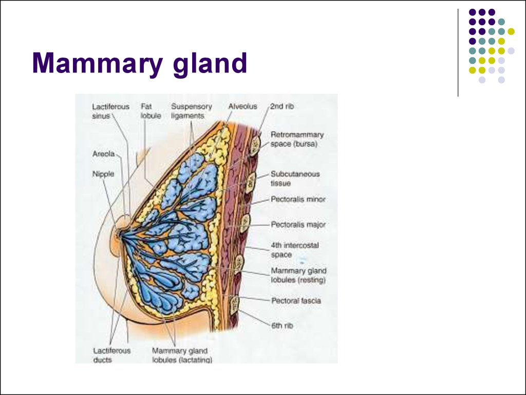 Anatomy Of The Mammary Gland Gallery Human Body Anatomy