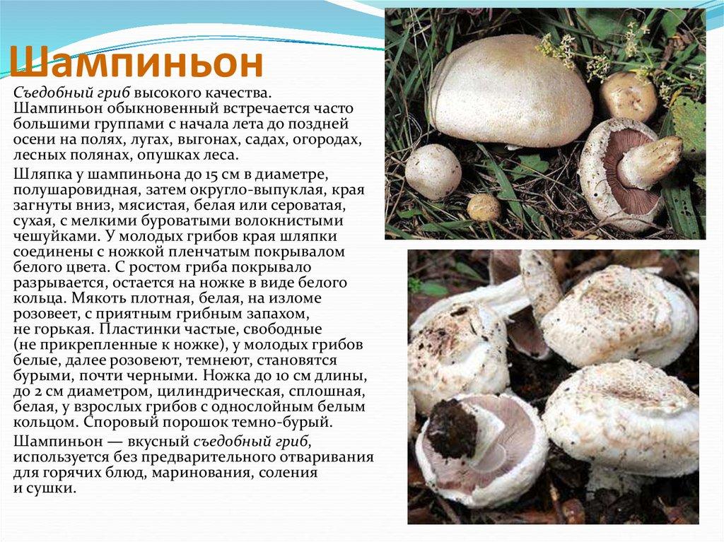 менеджеры грибы шампиньоны картинки с описанием новых