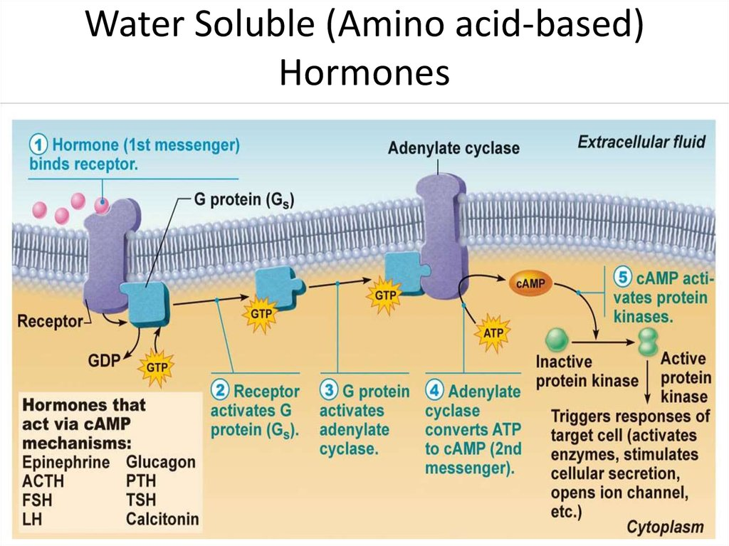 Water Soluble (Amino acid-based) Hormones