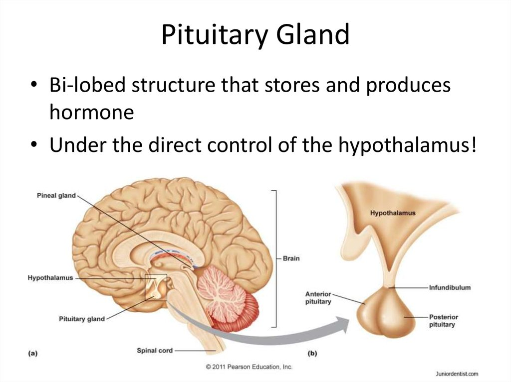 pituitary glands The pituitary gland lies just above the sphenoid bone enlarge transsphenoidal surgery an endoscope and a curette are inserted through the nose and sphenoid sinus to remove cancer from the pituitary gland.