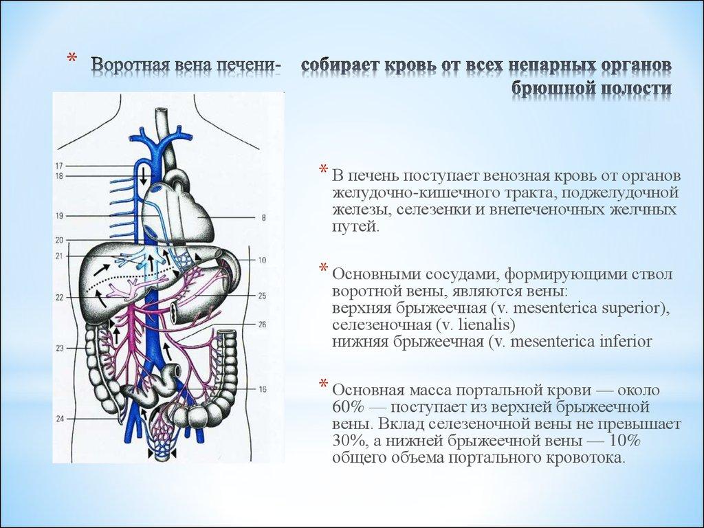 Ausgezeichnet V. Mesenterica Inferior Ideen - Physiologie Von ...