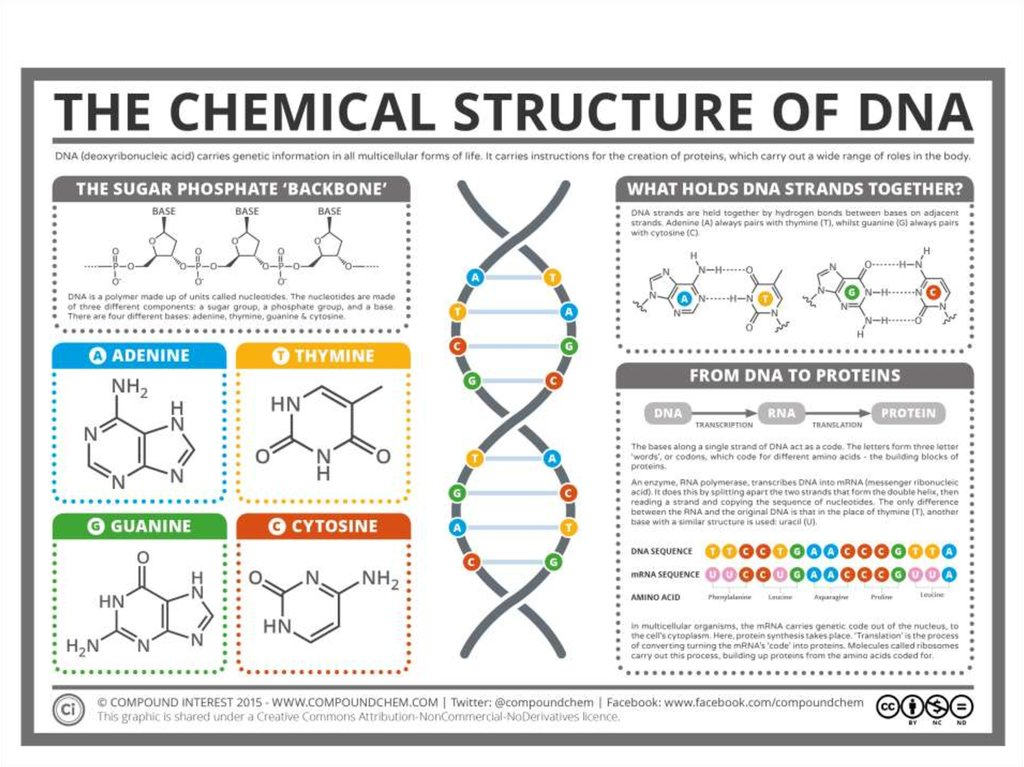 structure of dna rna Dna vs rna infographic diagram a comparison including predominant structure sugar portion bases function types and life time for medical science education and health care structure dna and rna molecule.
