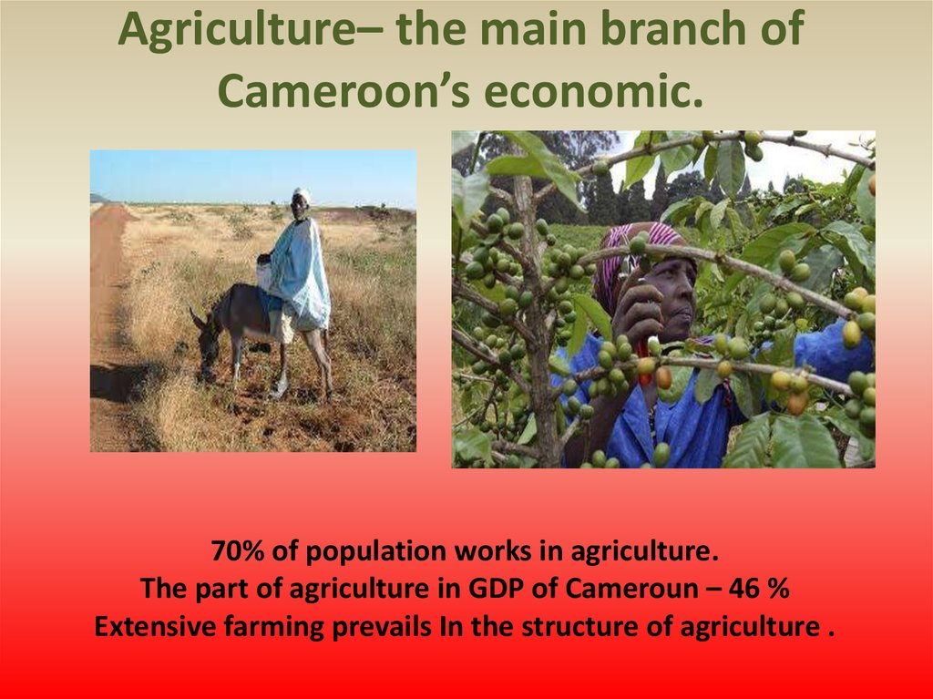 Agriculture– the main branch of Cameroon's economic.
